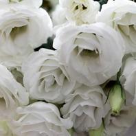 리시안샤스(흰색)